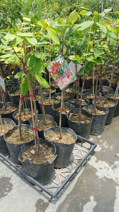 ╭*田尾玫瑰園*╯水果苗--(r167紅毛丹)嫁接苗-高2尺2500元-經濟果樹