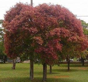 ╭*田尾玫瑰園*╯新品種樹種-(猴胡桃)-木材堅硬.是南美洲國家中非常重要的高經濟作物