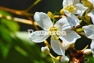 台灣圖片.照片出租.油桐花.專業攝影師拍攝.想租多少價格.你決定專案.