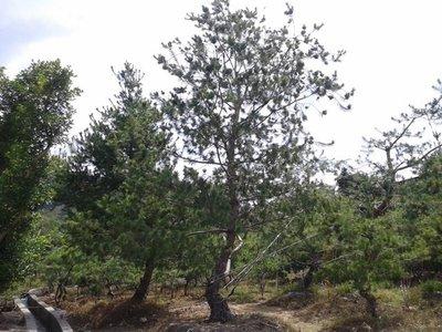 庭園樹-五葉松-大型(另售竹柏桂花梅子樹雪松羅漢松櫻花雞蛋花台灣油杉)