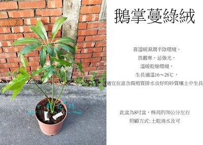 心栽花坊-鵝掌蔓綠絨/8吋盆/綠化植物/室內植物/觀葉植物/售價1200特價1000