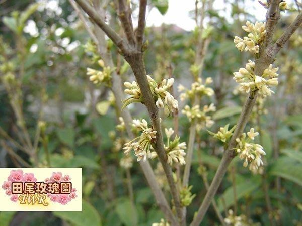 ╭*田尾玫瑰園*╯香花植物(四季桂花)高2米-2.5米2500元/株