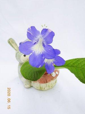 堤緣花語陶-淨化室內空氣植物 [Streptocarpus堇蘭]Strep. 'Bristol's Party Girl