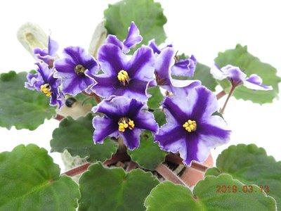 堤緣花語陶-淨化室內空氣植物-非洲紫羅蘭 Victorian Parasol Reverse [限量典藏]