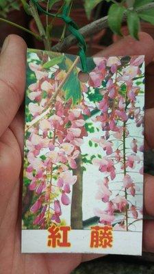 ╭*田尾玫瑰園*╯ 藤類(日本紅藤)5吋盆1尺400元