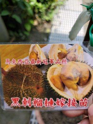 李家果苗 黑刺榴槤 靠接苗 高度80-90公分 單價5500元 免運費