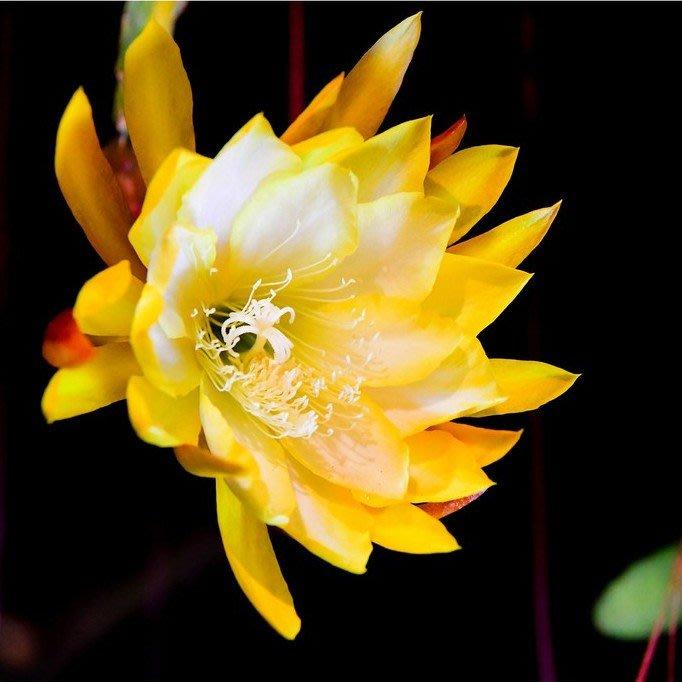 孔雀仙人掌莖葉 Epiphyllum French Gold 總長30公分以上 [飛訊庭園]