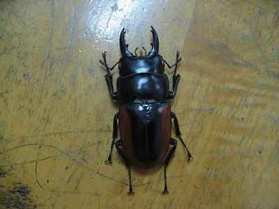 所羅門鋸鍬形蟲 公成蟲 標本☆實物出售☆(1)