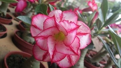 多肉植物 ** 沙漠玫瑰-不分花色 ** 3吋盆/高10-20cm 花色多種艷麗好種【花花世界玫瑰園】OvO
