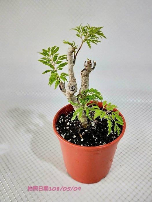 易園園藝- 羽葉福祿桐樹F22(福貴樹/風水樹) 室內盆栽小品/盆景高約27公分