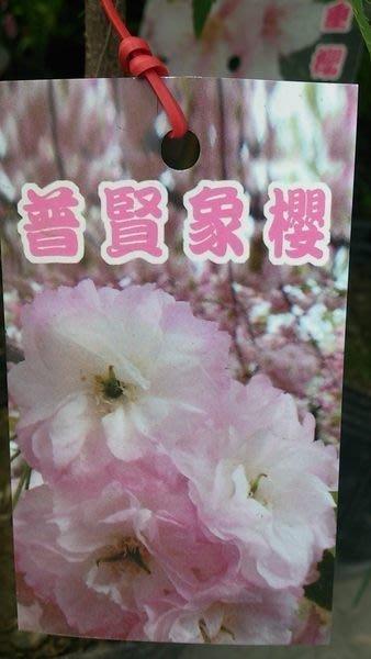 喬木-櫻花 ** 普賢象櫻 ** 4吋盆/高35-40cm/浪漫觀花植物【花花世界玫瑰園】s