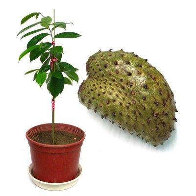 YenQ~刺果番荔枝樹苗~菲律賓種