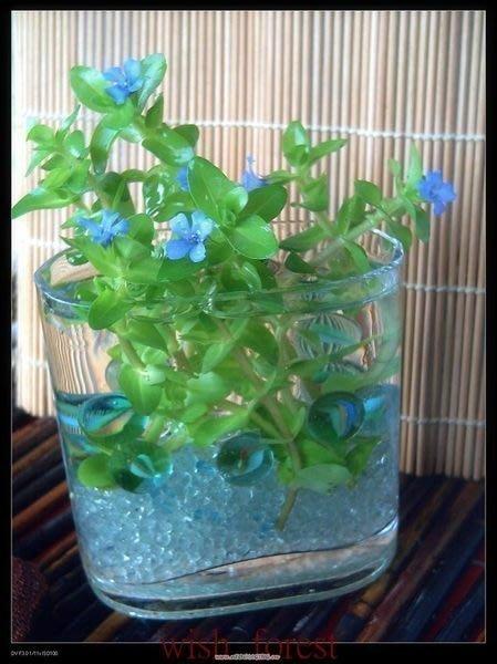 WISH FOREST【海洋之星】【虎耳】湛藍色的花朵...........枝條10枝30元