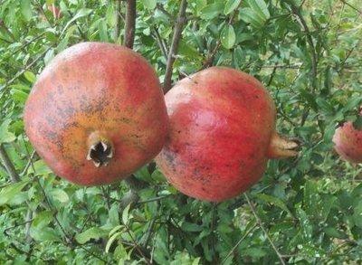 ╭*田尾玫瑰園*╯ 水果苗-(大果安石榴)-種子外有肉質層可供食用,味酸甜