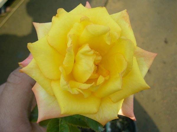 ╭*田尾玫瑰園*╯玫瑰花-( 金色沙灘 .Rose golden sands)