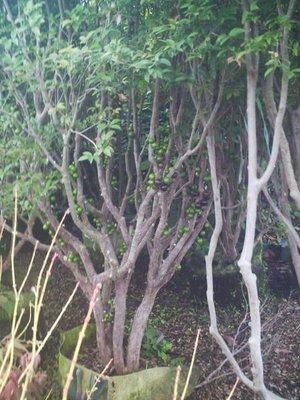 *~*台灣農業園藝*~*樹葡萄成樹..16年已可開花結果成樹.歡迎蒞臨鑑賞