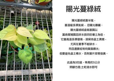 心栽花坊-陽光蔓綠絨/心葉蔓綠絨/3吋/綠化植物/室內植物/觀葉植物/售價50特價40