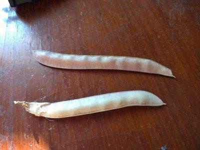 《可超取付款》重瓣蝶豆花種子一顆一元