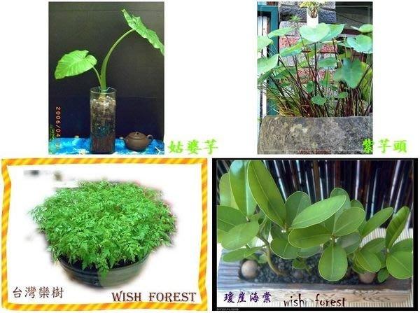WISH FOREST【種子盆栽專用70多樣種子】竹柏,七里香,綠鑽,春不老.