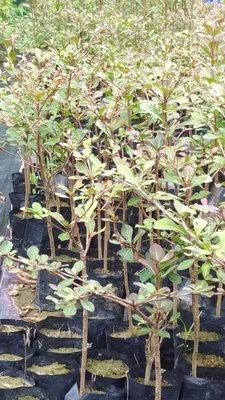 哇沙米園藝#小葉欖仁苗(5棵=$200)高60公分(俗稱雨傘樹),生長速度快,一箱可置30棵。