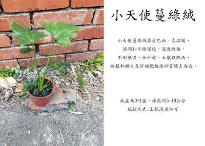 心栽花坊-小天使蔓綠絨/3吋/綠化植物/室內植物/觀葉植物/售價50特價40
