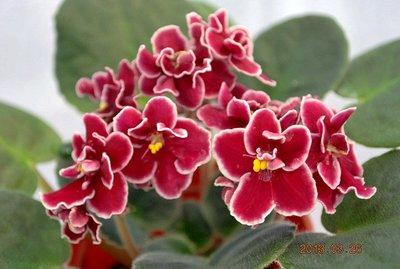 堤緣花語陶-淨化室內空氣植物-非洲紫羅蘭 Acas Pink Delight sport [紅花]