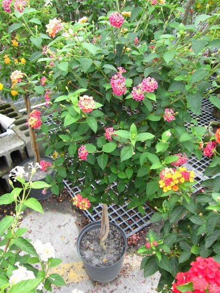 ╭*田尾玫瑰園*╯常綠灌木((馬櫻丹))棒棒糖造型--