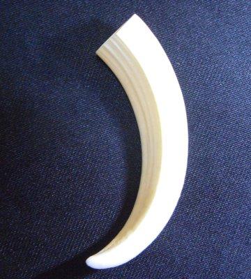 (豬公牙)真正豬公牙12.2公分長, 線條優美...可珍藏! #6.12.2x2