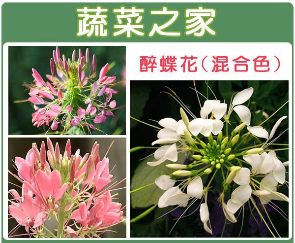 【蔬菜之家】H16.醉蝶花種子30顆(混合色,高100cm以上.花卉種子)