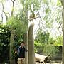 (青山園藝).象腳樹.特別樹種.馬達加斯加島特有種.    真柏龍柏桂花油杉黑松