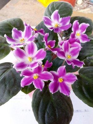 堤緣花語陶-淨化室內空氣植物-非洲紫羅蘭 Glimmer