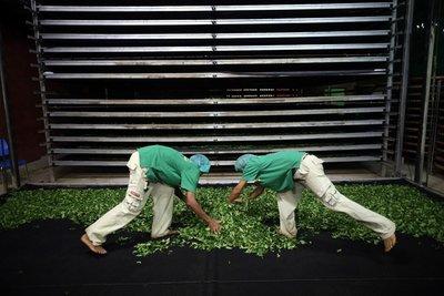 【炒茶天師】高山手摘金宣烏龍綠茶~阿里山風味~ 純天然,無污染的純淨茶~營業用批發$650(批發$400)
