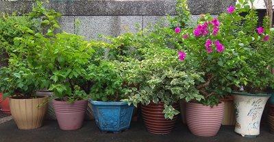 ❨便宜出售❩12年老欉九重葛單顆每一盆花$600
