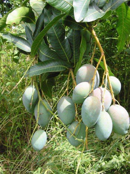 ╭*田尾玫瑰園*╯水果苗(玉文芒果)被消費者公認為最好吃的品種而成名