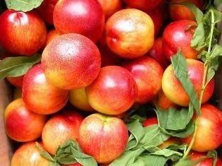 ╭*田尾玫瑰園*╯水果苗-(楓葉油桃)--容易結果*盆栽可種植