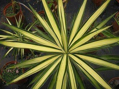 Yucca(尤加)黃中斑