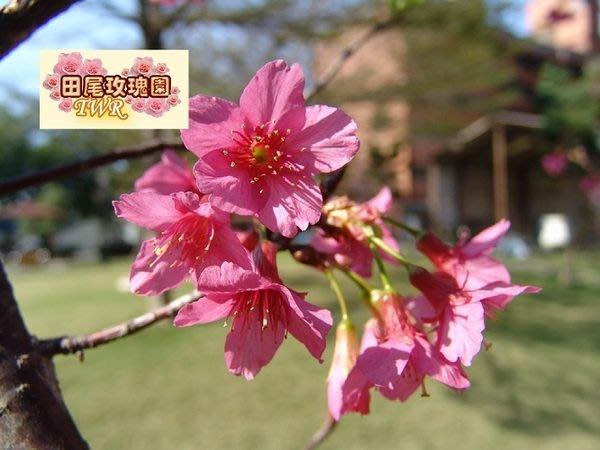 ╭*田尾玫瑰園*╯優良庭園用樹--山櫻花(美植袋)3cm1800元
