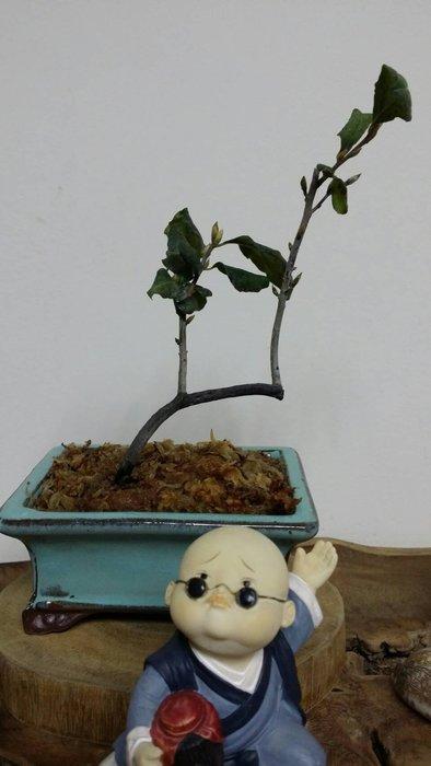台中瘋小品-小品盆栽-日本姬柿(母株)楊貴妃-4-特價
