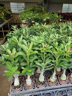 李家果苗 沙漠玫瑰 3吋盆 高度20-30公分 單價80元 特價70元