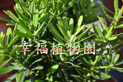 [幸福植物園]金鑽羅漢松(母株扦插苗)