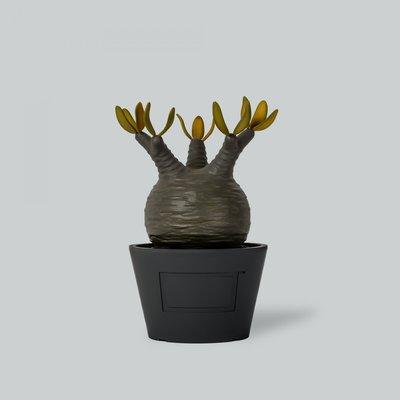【希望商店】MEDICOM TOY x BOTANIZE VCD 象牙宮 塊根植物 玩具 擺設 秋天