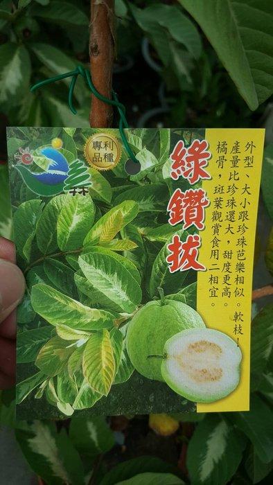 ╭*田尾玫瑰園*╯水果苗-(綠鑽拔)高2尺800元-口感類似珍珠拔.但結果果實率高於珍珠拔