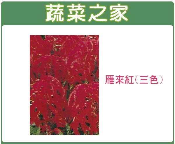 【蔬菜之家】H13.雁來紅種子35顆(三色,高50cm.花卉種子)