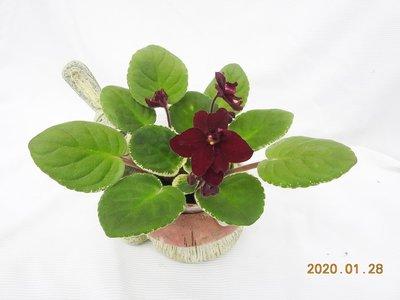 堤緣花語陶-淨化室內空氣植物-非洲紫羅蘭 Powwow-巫師