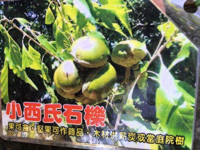 ╭*田尾玫瑰園*╯新品種樹種-(小西氏石櫟)高60cm400元