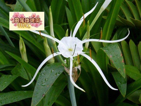╭*田尾玫瑰園*╯香花植物--(蜘蛛百合)-具高雅的氣息