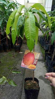 水果苗 ** 秋香芒果 ** 4吋盆/ 高30-40公分 / 籽小纖維細【花花世界玫瑰園】R