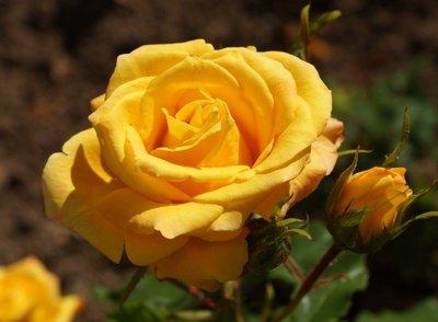 阿什米亞黃金 Aalsmeer Gold。悠遊山城(創始店)5-6吋盆玫瑰~特價180~任選3盆420
