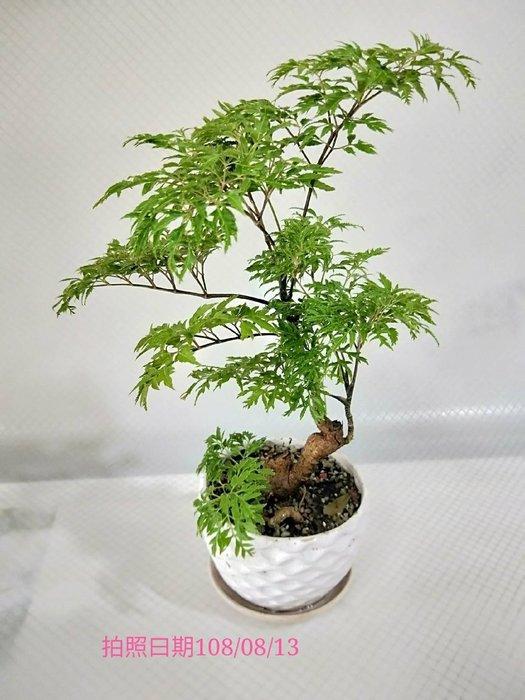 易園園藝- 羽葉福祿桐樹F47(福貴樹/風水樹)室內盆栽小品/盆景高約28公分