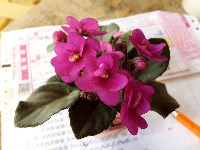堤緣花語陶-淨化室內空氣植物-非洲紫羅蘭 Rob's Rinky Dink